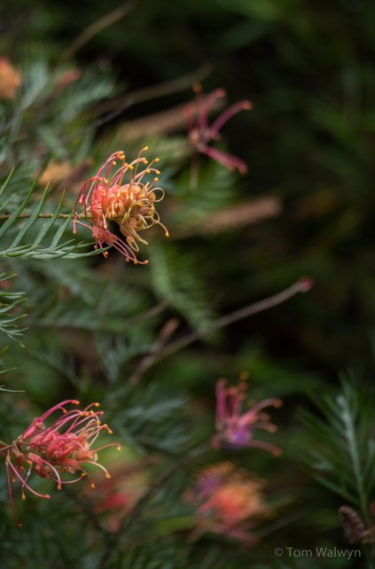 The welcome rain after the dry of summer brings glorious colour - Grevillea